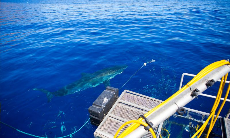 Great white shark ready at Guadalupe Island