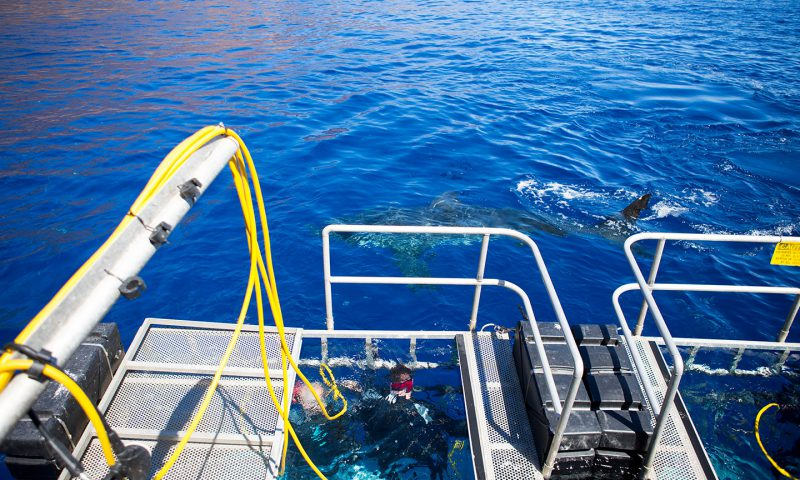 Great White Shark from Deck off of Guadalupe Island