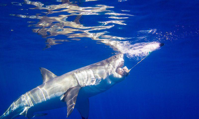 Great White Shark Chum bite Guadalupe Island