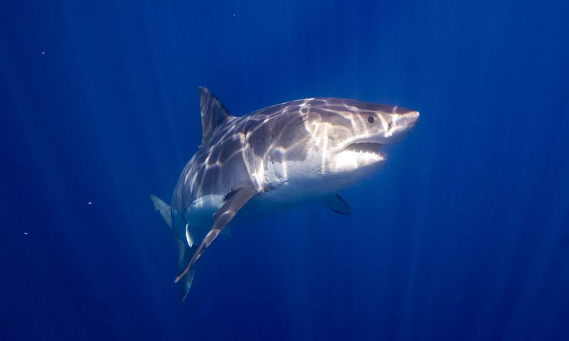 Great White Shark Diving off of Guadalupe Island