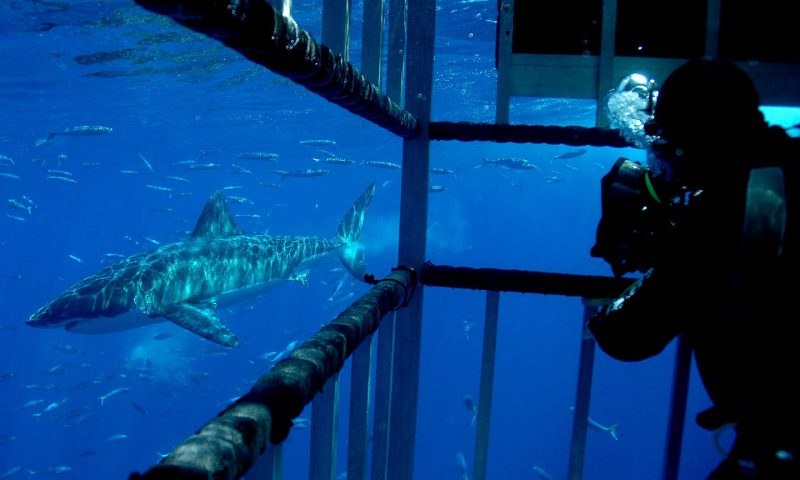 Inside the Great White Cage for Guadalupe Island Diving