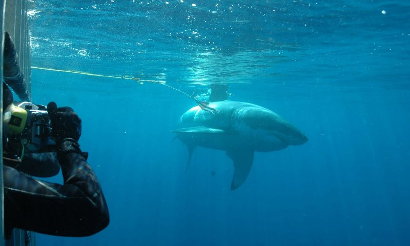 Large Great White Shark off of Guadalupe Island