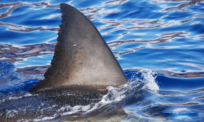 Great White Shark Fin off of Guadalupe Island