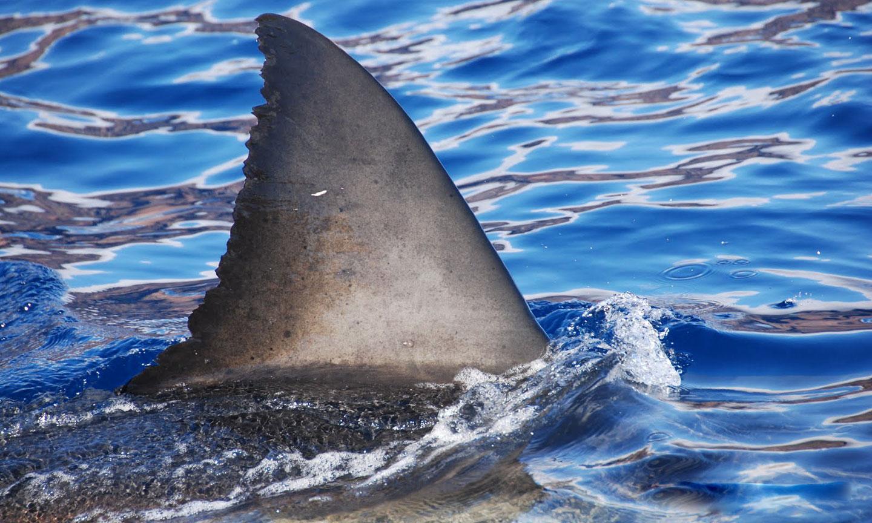 shark week islander media