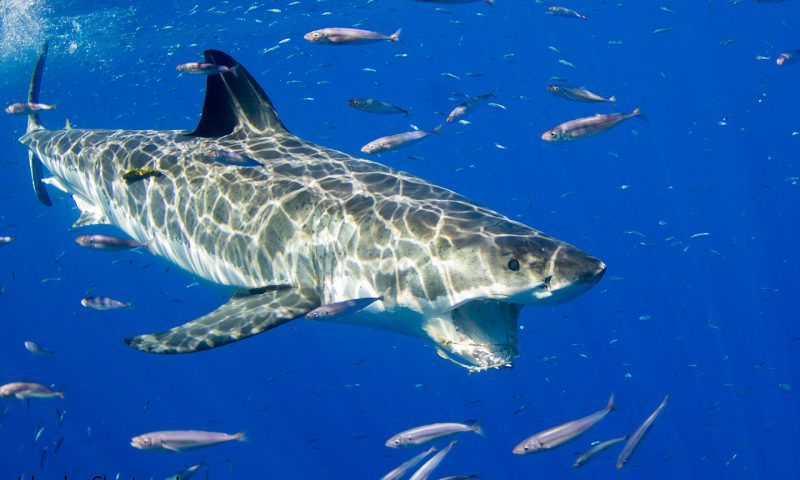 Close up of Great White Shark off of Guadalupe Island