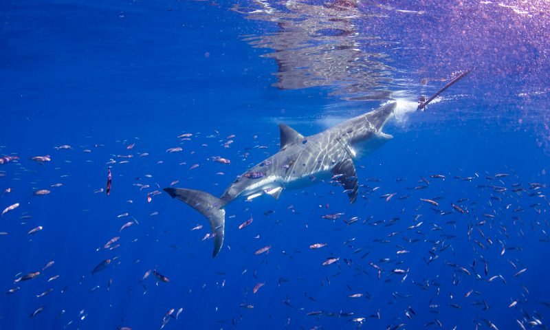 Great White Shark strike off of Guadalupe Island